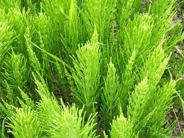 How To Kill Horsetail Weeds