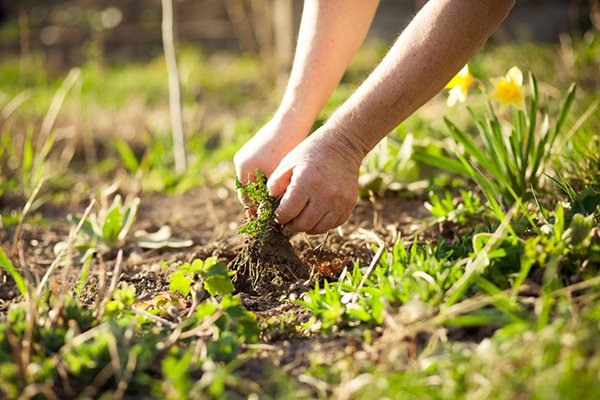How To Kill Weeds and Keep Trees and Shrubs Safe